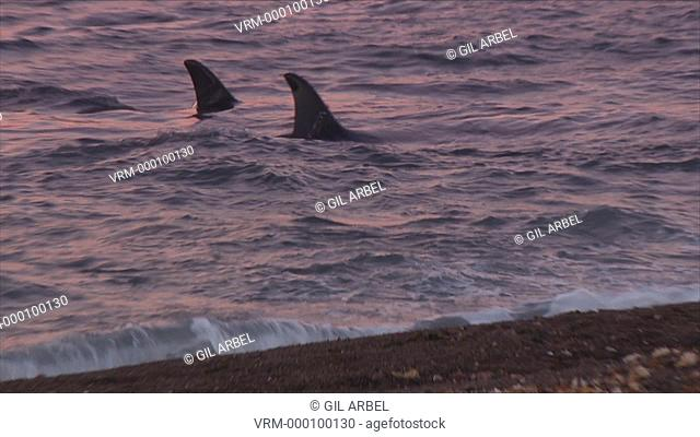 Orca Orcinus orca pod patroling in shallow water. One whale turns to chase adult Patagonian sea lion Otaria flavescens in surf. Predation behaviour