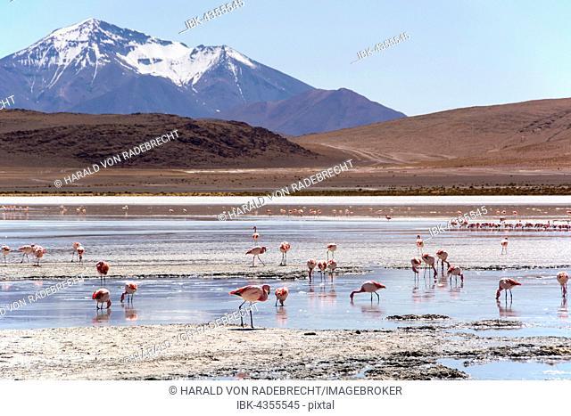 Laguna Hedionda with James's flamingos (Phoenicoparrus jamesi) in shallow water, near Uyuni, Lipez, Bolivia