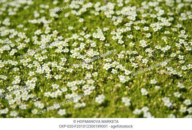 Sagina subulata, nature, flowers, plants CTK Photo/Marketa Hofmanova
