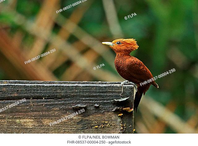 Chestnut-coloured Woodpecker (Celeus castaneus) adult female, perched on bird feeding table, Pico Bonito, Honduras, February