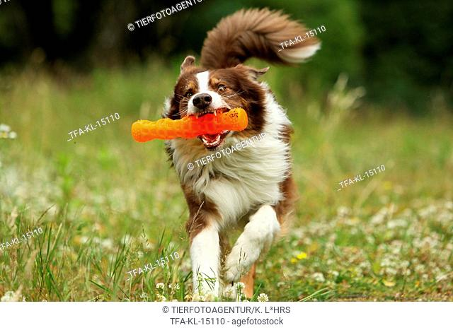 playing Australian Shepherd