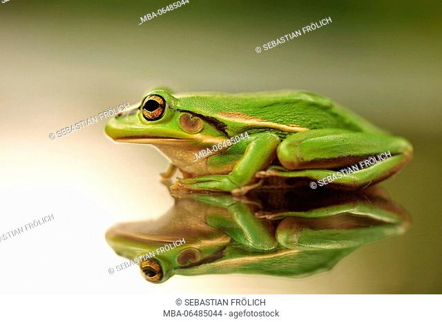 New Zealand frog is reflected on a glass top