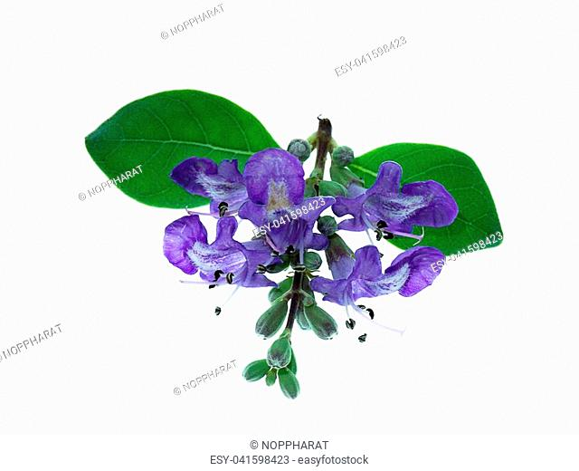 Close up flower of Vitex trifolia plant on white background