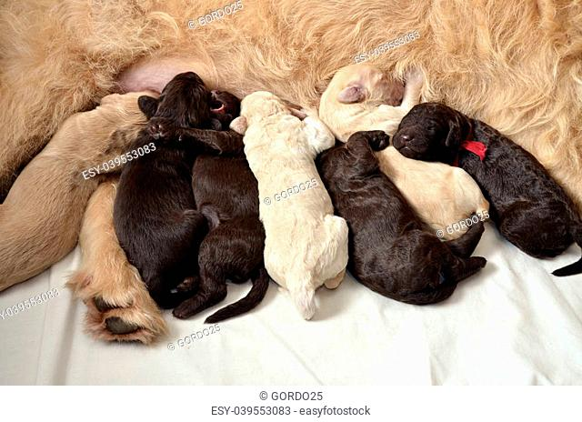 Seven labradoodle pups feeding from their mom