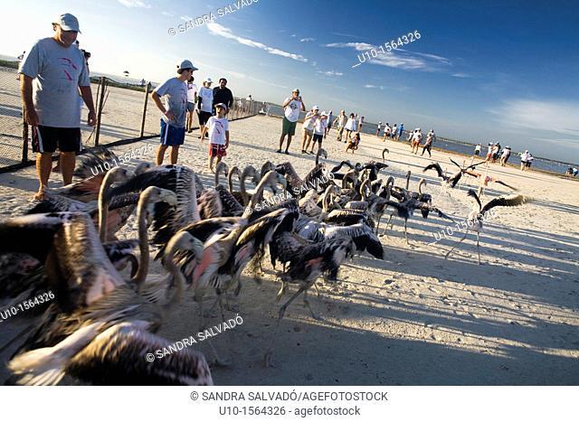Putting rings and taking measures of flamingos, Reserva de la Biosfera Ria Lagartos, Punta Mecoh, Quintana Roo, Mexico