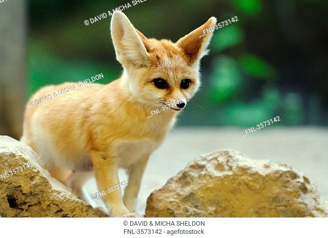 Fennec Fox Vulpes zerda