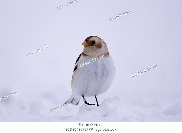 Snow Bunting Plectrophenax nivalis perched on snow highlands, Scotland, UK