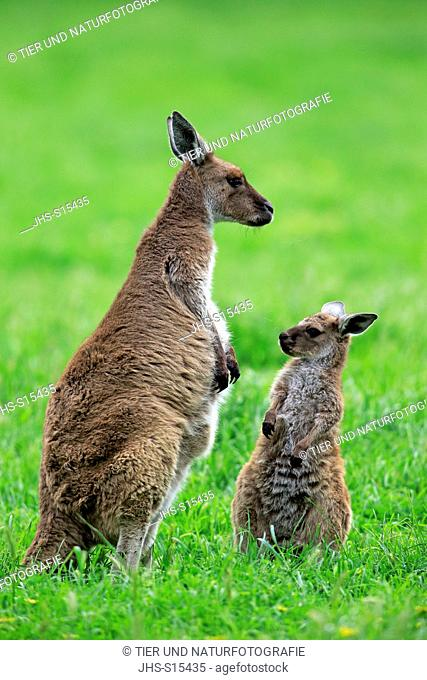 Kangaroo Island Kangaroo, (Macropus fuliginosus fuliginosus), mother with young, South Australia, Australia