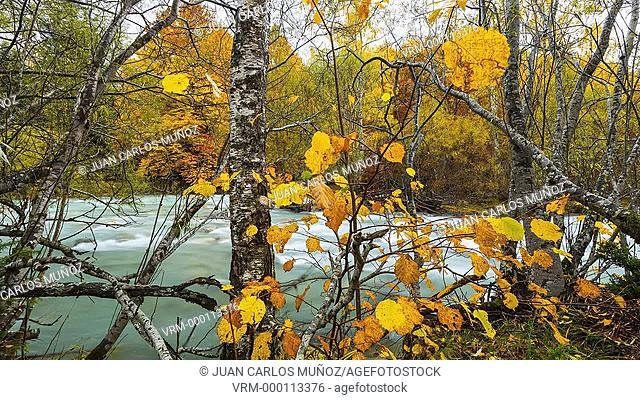 Birch in autumn, Arazas River, Ordesa National Park, Huesca, Spain