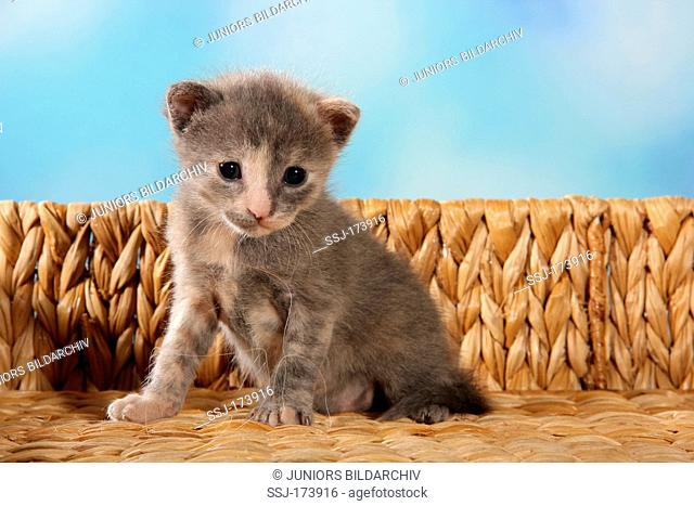 Domestic Cat. Kitten (20 days old) sitting on a bench