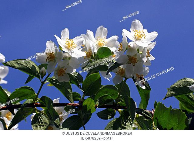 Flowering Sweet Mock Orange, Farmer Jasmine (Philadelphus coronarius)