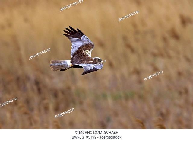western marsh harrier (Circus aeruginosus), male in flight, Germany, Rhineland-Palatinate