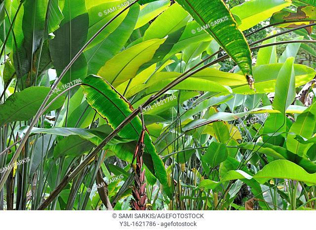 Banana trees (Musa sp.) leaves, Big Island, Hawaii Islands, USA
