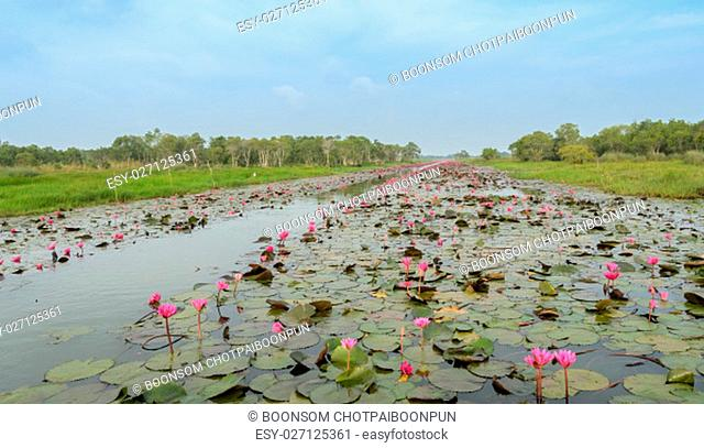 Beautiful pink water lily in lotus swamp at Talay-Noi Wetland in Phattalung province ,Thailand
