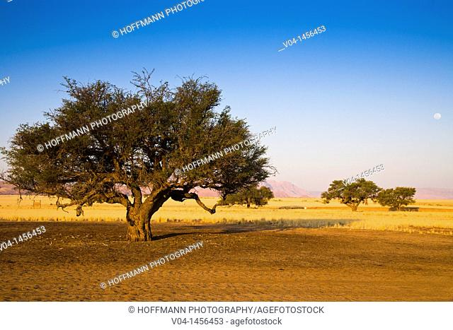 A tree at sunset in the Namib Naukluft Park with the rising moon
