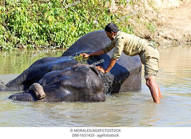 India , State of Assam ,Kaziranga National Park , Asian Elephant  Elephas maximus