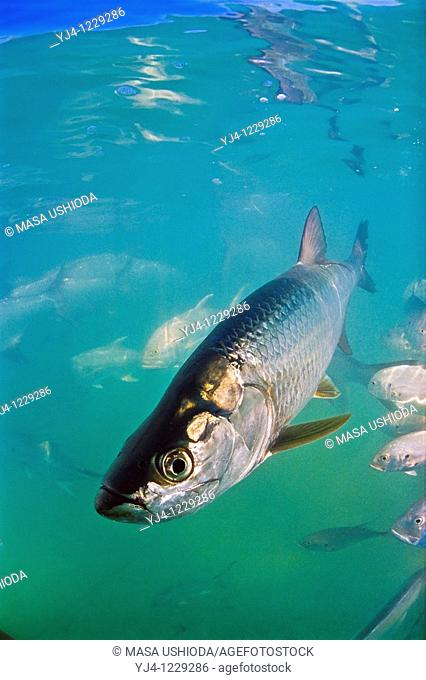 Atlantic tarpon, Megalops atlanticus, grows up to 2 m 6 6 ft in length and could weigh 160 kg 350 lb, Islamorada, Florida Keys National Marine Sanctuary, USA