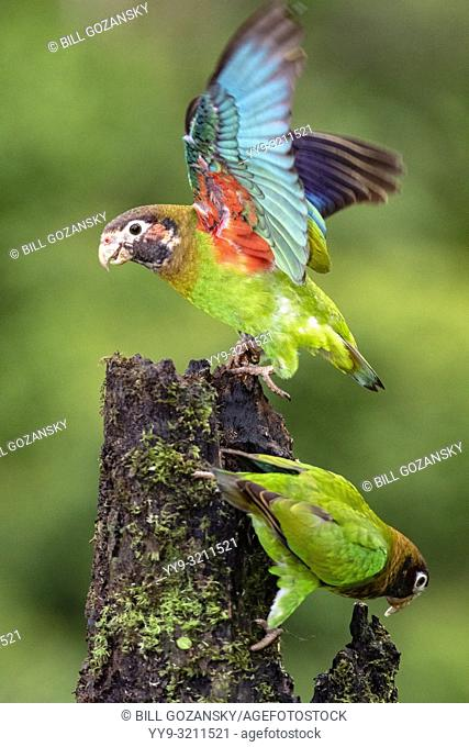 Brown-hooded Parrots (Pyrilia haematotis) - La Laguna del Lagarto Lodge, Boca Tapada, Costa Rica