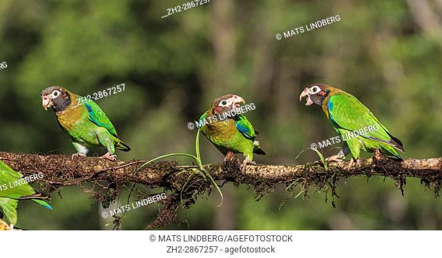 Three Brown-hooded parrot, Pyrilia haematotis, sitting in a tree, at Laguna del Lagarto, Boca Tapada, San Carlos, Costa Rica