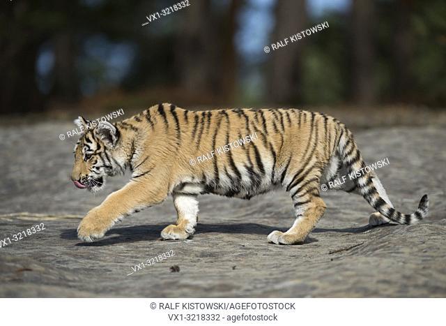 Royal Bengal Tiger / Koenigstiger ( Panthera tigris ), walks over rocks, licking its tongue, full side view, young animal, soft light