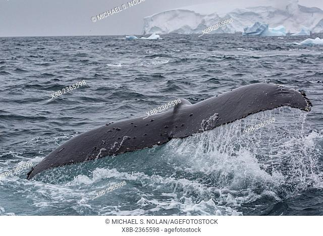 Adult humpback whale, Megaptera novaeangliae, flukes-up dive in Orne Harbor, Antarctica