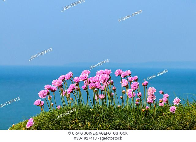 Thrift in flower overlooking the Atlantic sea on the Devon coast, England
