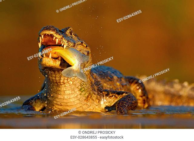 Yacare Caiman, crocodile with fish with evening sun in the river