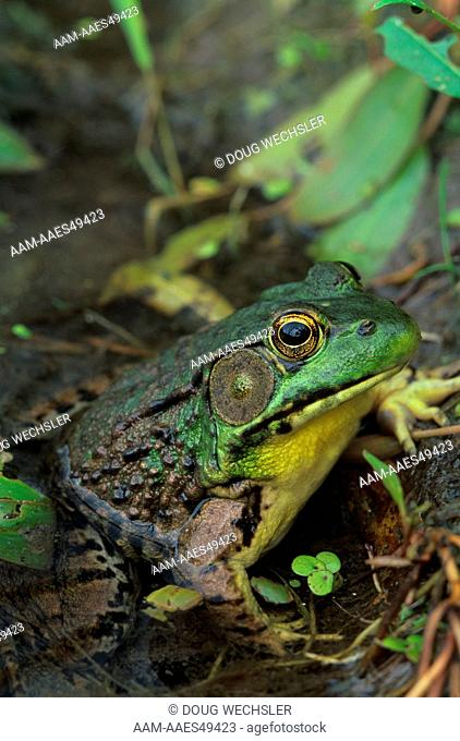 Green Frog (Rana clamitans), male showing large tympanum, Stokes S.F., NJ