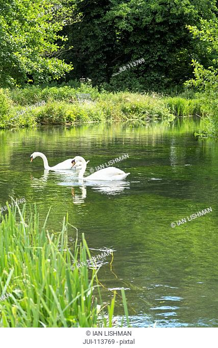 Pair of white swans swimming in tranquil river surrounded by sunny green trees and grass