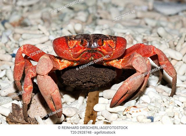 Christmas Island Red Crab with Eggs, Gecarcoidea natalis, Christmas Island, Australia