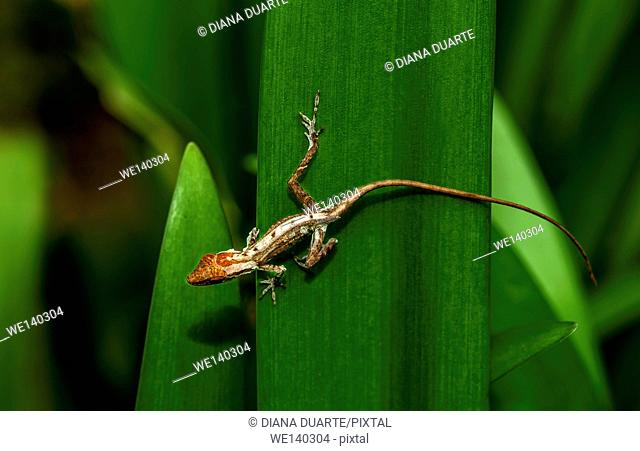 'Anolis ( Anolis )'. Some lizards are like snakes, tarantulas, and stick insects: they climb out of their old skin, leaving it behind in one piece