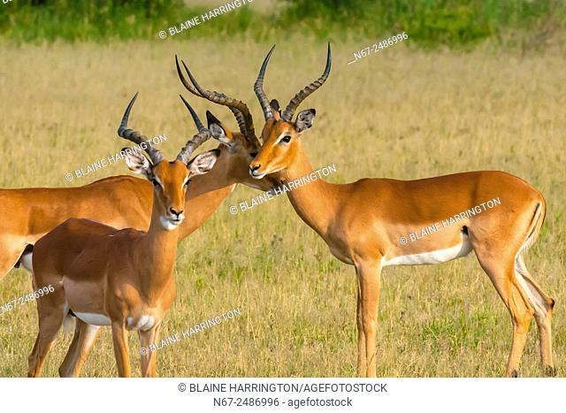 Herd of impala, Nxai Pan National Park, Botswana
