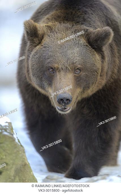 Brown bear, Ursus arctos, in winter, Germany