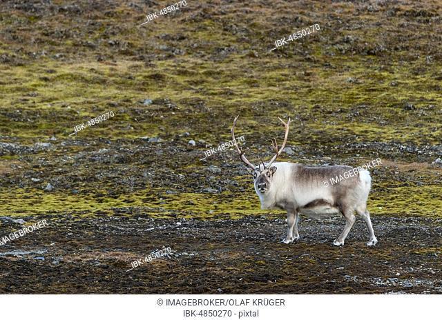 Svalbard reindeer (Rangifer tarandus platyrhynchus), Spitsbergen, Svalbard, Norway, Europe