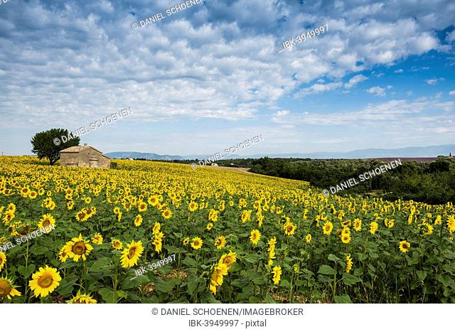 Sunflower field and small stone house, Plateau de Valensole in Valensole, Provence, Provence-Alpes-Côte d'Azur, France