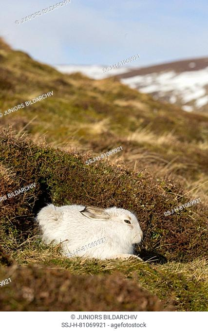 Mountain Hare (Lepus timidus). Adult in white winter coat (pelage) resting in heather. Cairngorms National Park, Scotland