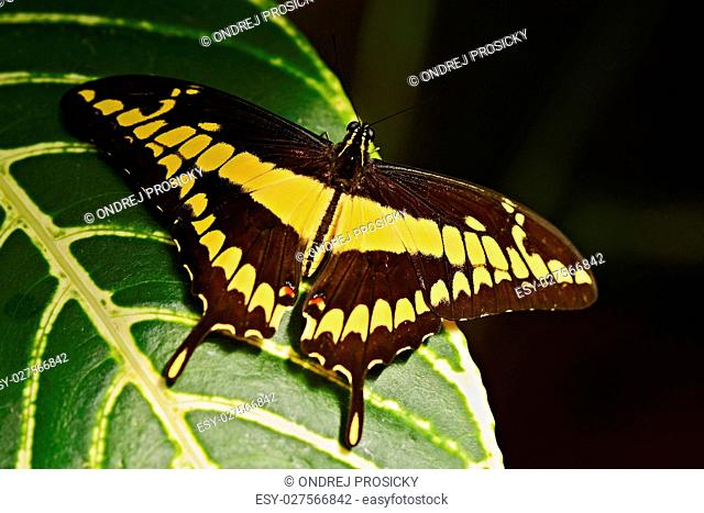 Giant Swallow Tail, Papilio thoas nealces, beautiful butterfly
