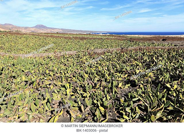 Plantation of Prickly Pear (Opuntia ficus-indica), Lanzarote, Canary Islands, Spain, Europe