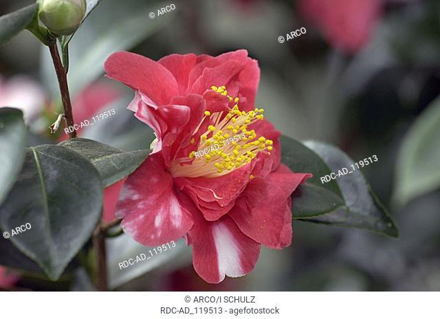 Camellia Camellia spec Theaceae