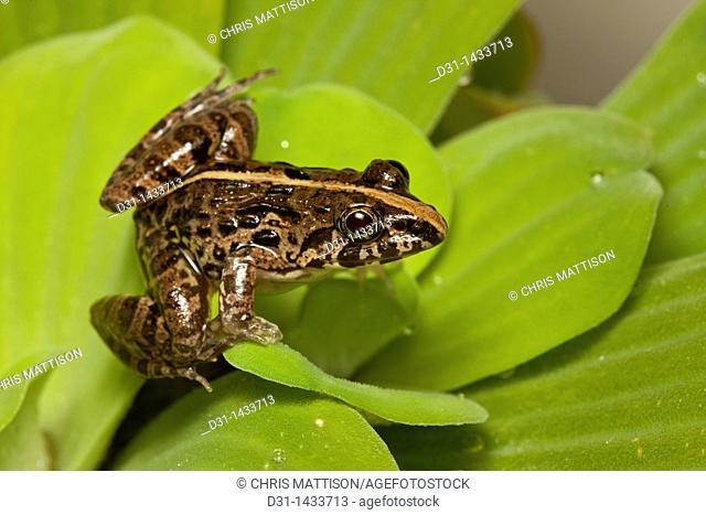 Paddy frog, or grass frog, Fejervarya limnocharis, Tuaran, Sabah, Borneo