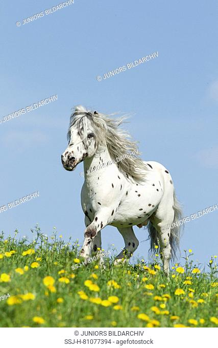 Shetland Pony. Miniature Appaloosa trotting on a meadow. Germany