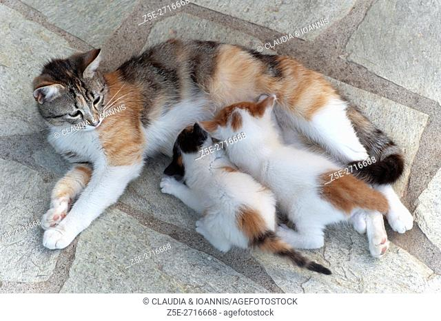 Calico cat feeding two four weeks old kittens outdoors
