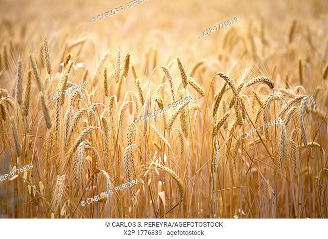 wheat around Sault, Provence, France