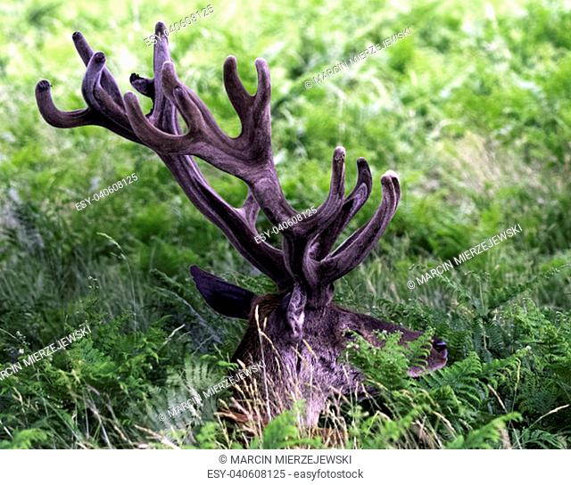 Wild male red deer hiding in the bush