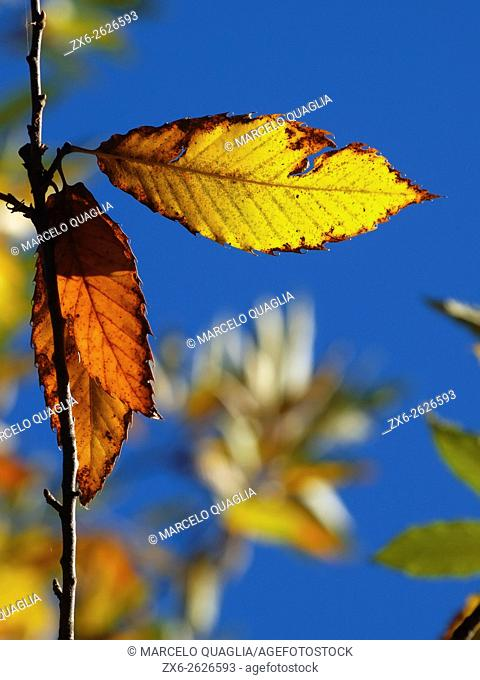 Old Sweet Chestnut tree leaves (Castanea sativa). Winter at Montseny Natural Park. Barcelona province, Catalonia, Spain
