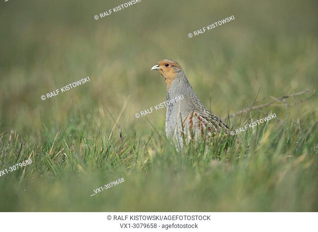 Grey Partridge ( Perdix perdix ), male, mating season, sits in grass, stretches its neck to get good overview, wildlife, Europe.