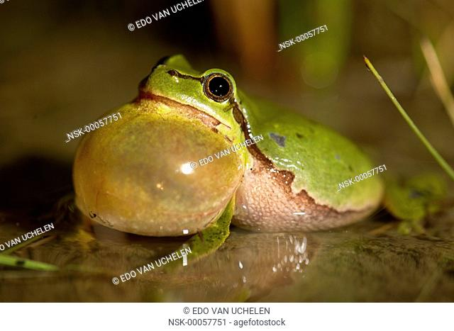 European Tree Frog (Hyla arborea) croaking in shallow water, The Netherlands