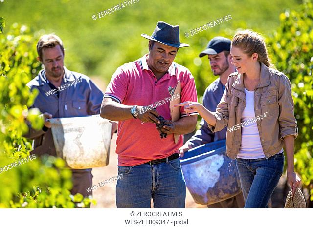 Man and woman in vineyard examining grapes