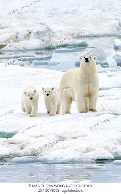 Mother polar bear with two cubs (Ursus Maritimus), Wrangel Island, Chuckchi Sea, Chukotka, Russian Far East, Unesco World Heritage Site