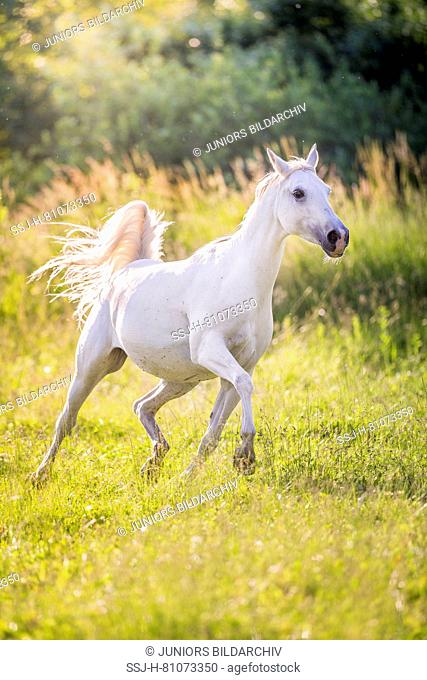Shagya Arabian. Gray mare trotting on a pasture. Austria